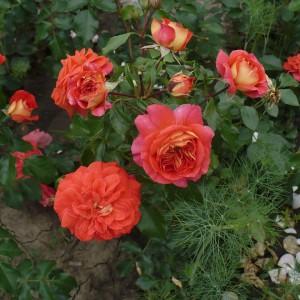 Роза Братья Гримм