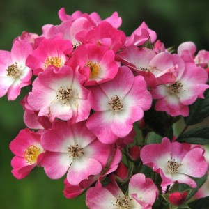 Роза Моцарт