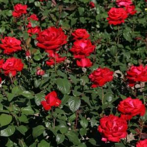 """Роза """"Гранд Аморе"""" (чайно-гибрид, алая,махровая) С7"""