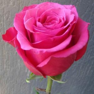 """Роза """"Топаз"""" (чайно-гибрид, розовая,махровая) С7"""