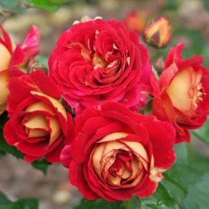 """Роза """"Ди Зеенсверсте"""" (флорибунда, пурпурно-красная, махровая) С7"""