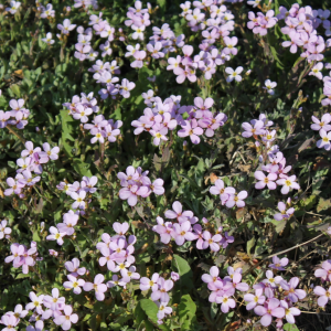 Арабис альпийский Грандифлора