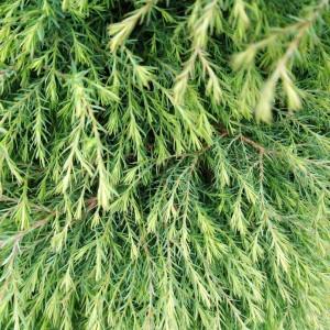 Кипарисовик горохоплодный Плюмоза