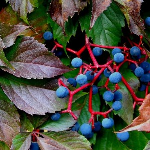 Виноград девичий