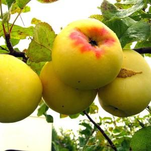 Яблоня Антоновка золотая