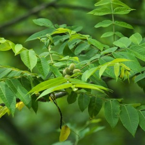 Орех маньчжурский