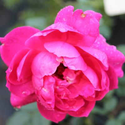 Гибриды Розы ругозы