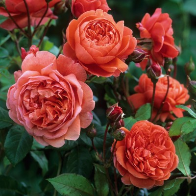 Английские розы