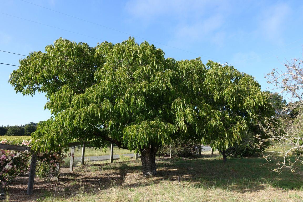 пожалуйста ореховые деревья фото пряной