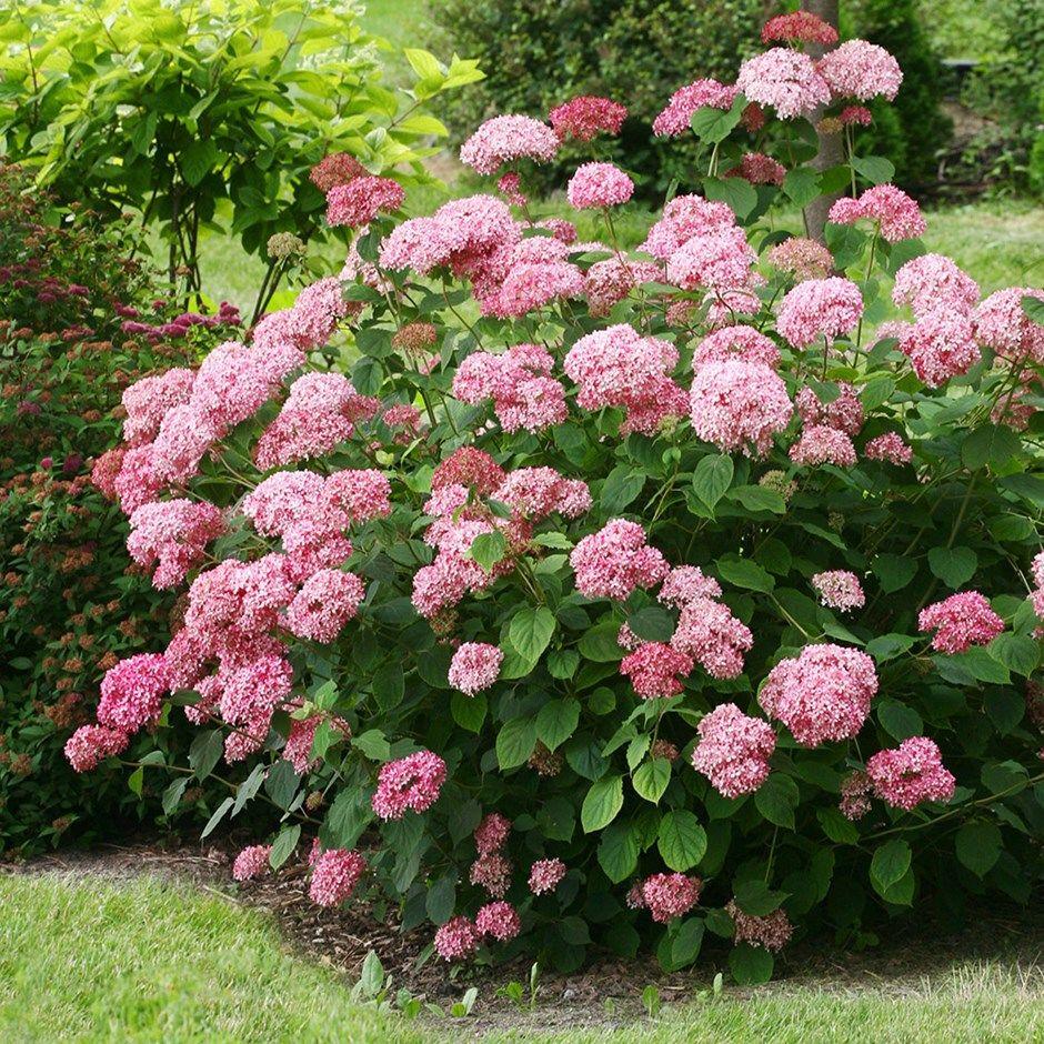 annabella-pink