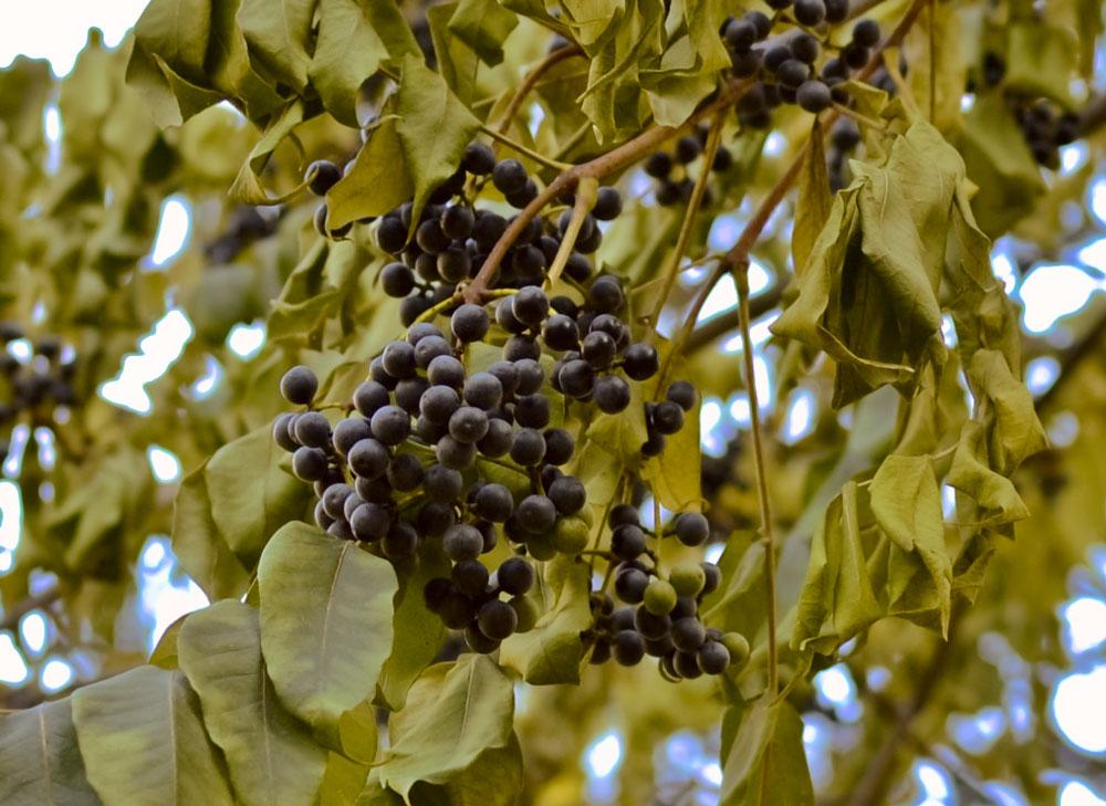 Бархатное дерево картинка